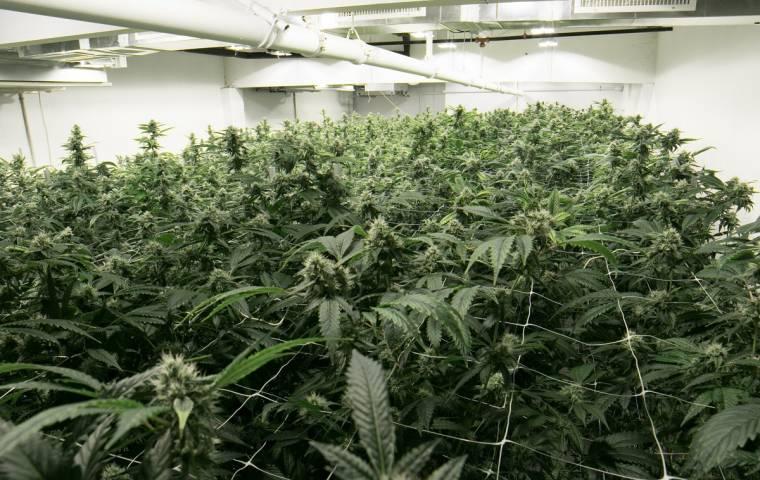 Powstanie kolejna plantacja medycznej marihuany. Labocanna za nieruchomość zapłaci 5 mln złotych