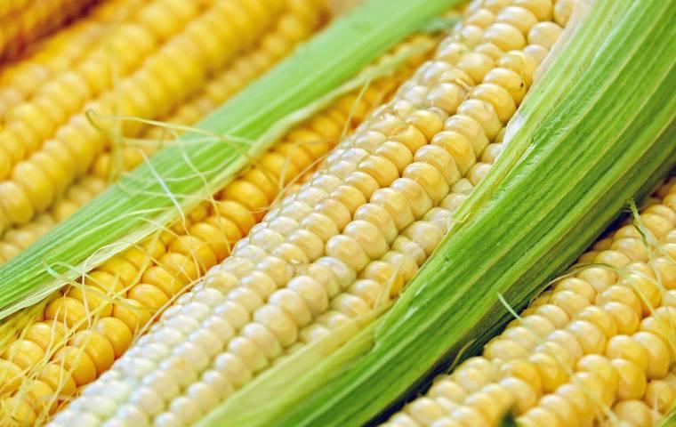 Polski robot pomoże w uprawie kukurydzy
