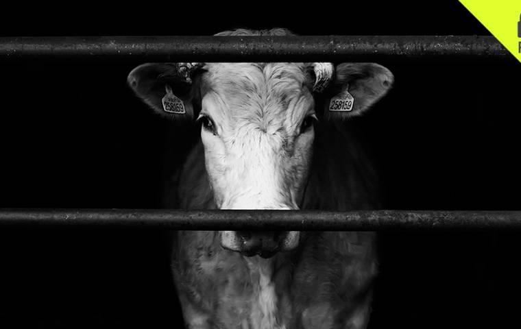 Rzeź producentów wołowiny