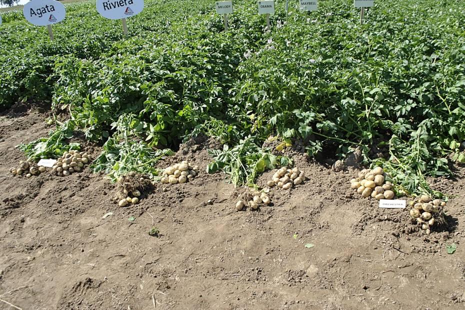 Pole ziemniaków. Teraz monitorowane w ramach block